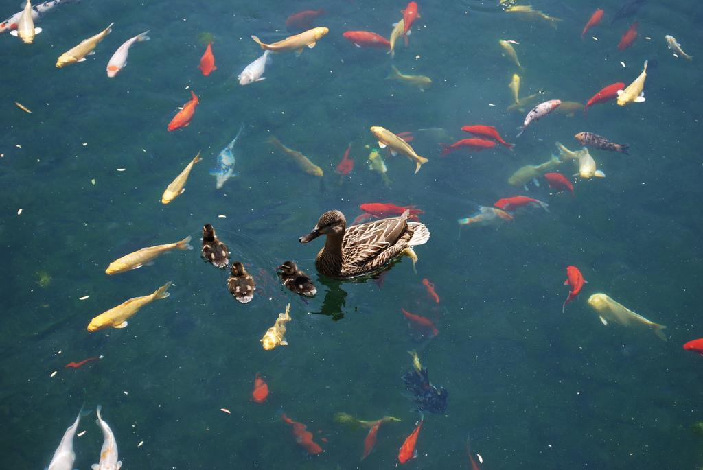 Утки и рыбы в пруду, Пекинский университет