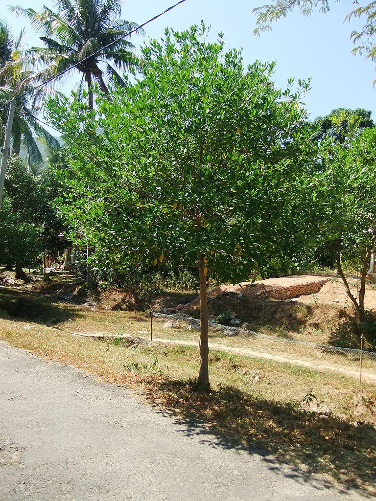 Каримунджава, дерево девадару