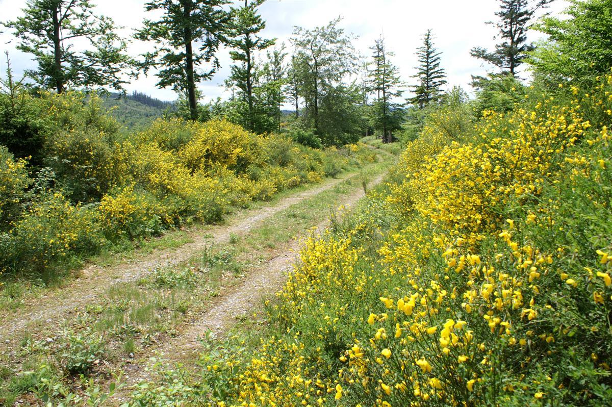 Шварцвальд, лесные цветы
