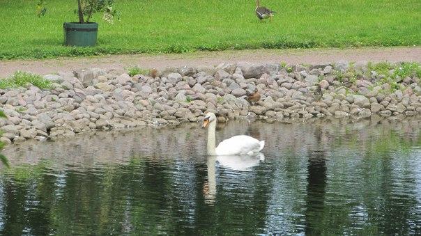 Лебеди на прудах в Петергофе.jpg