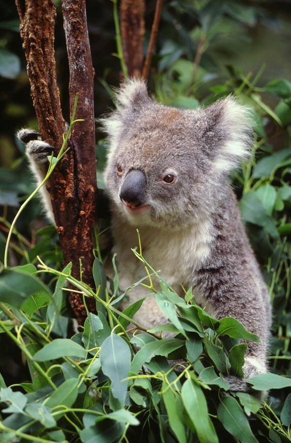 Пушистики-коалы — любимцы туристок