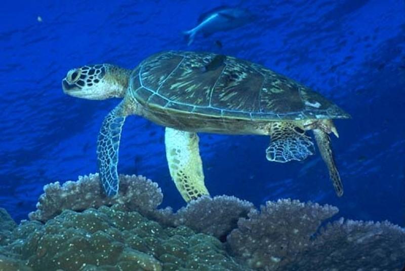 Зеленая или Суповая черепаха, Морской аквариум-музей, Севастополь
