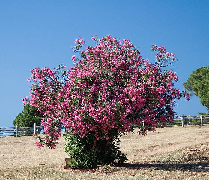 Цветущий куст олеандра, архипелаг Бриони