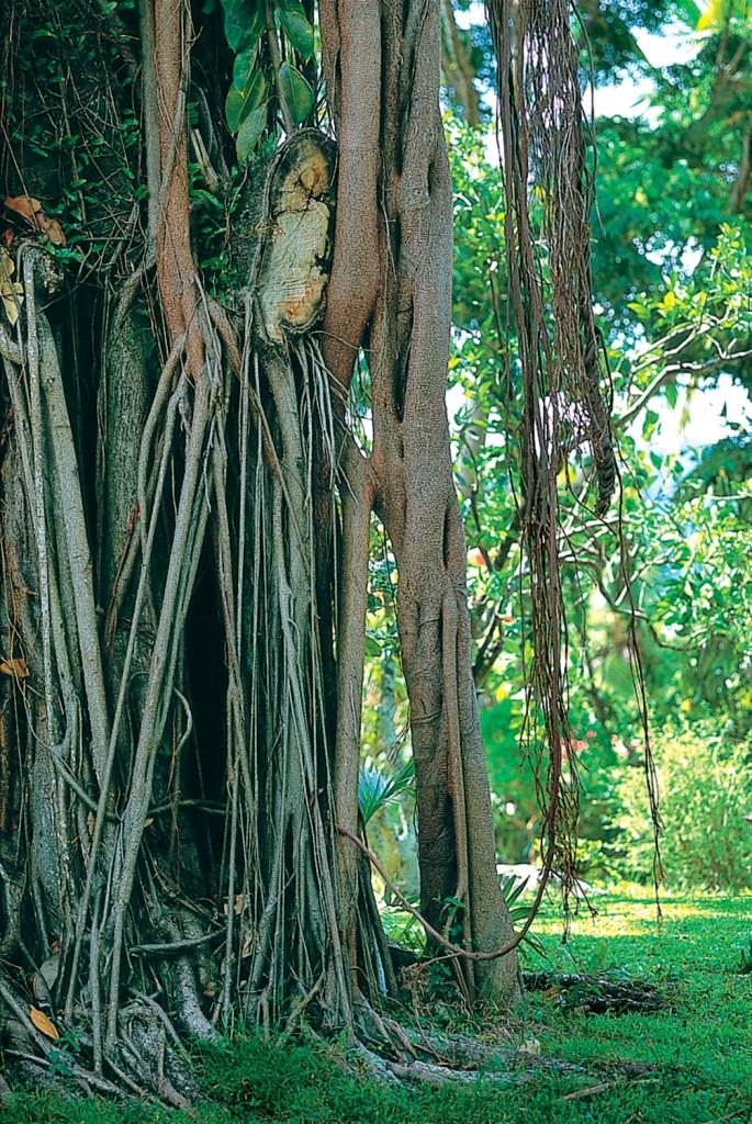 Причудливые деревья, Сент-Люсия.jpg