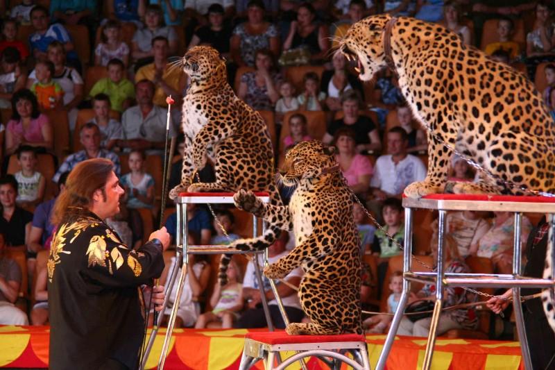 Грозные леопарды, Цирк в Екатеринбурге