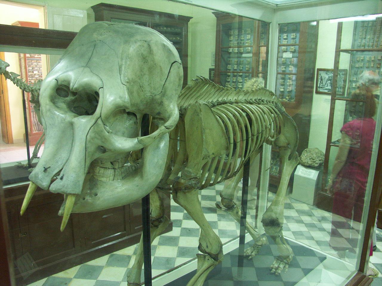 Скелет карликового слона в музее Гхар-Далам
