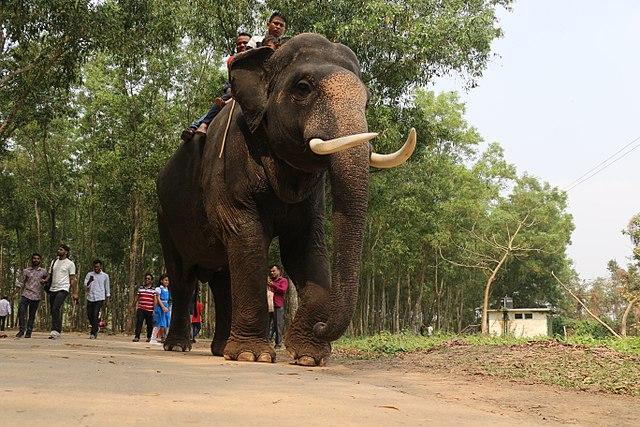 На Шри-Ланке от истощения умер катавший туристов слон.jpg