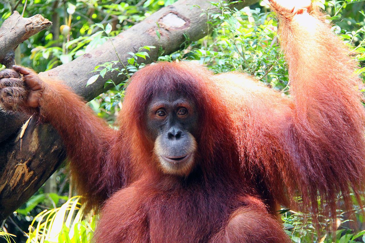 Сингапурский зоопарк, орангутан