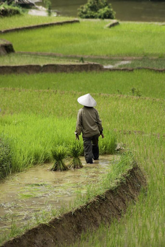 Фермер на рисовых полях Вьетнама.jpg