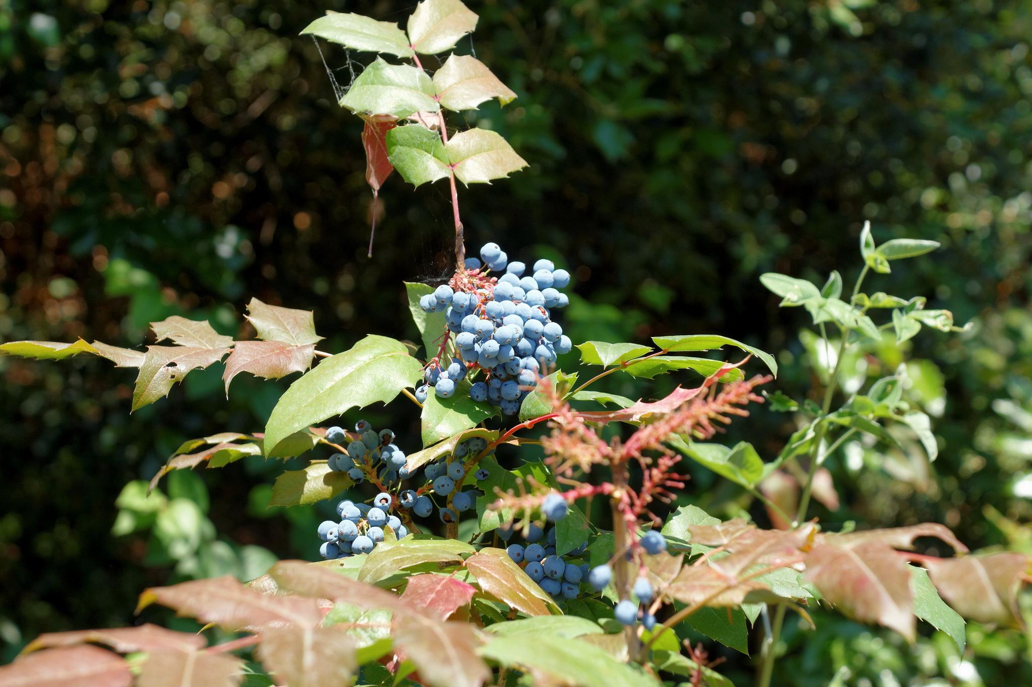 Дикие ягоды, Никитский ботанический сад, Ялта