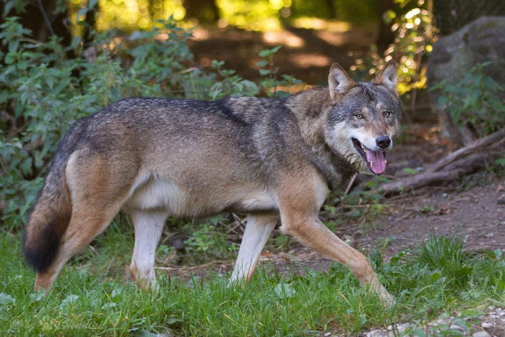 Зоопарк в Мюнхене, волк