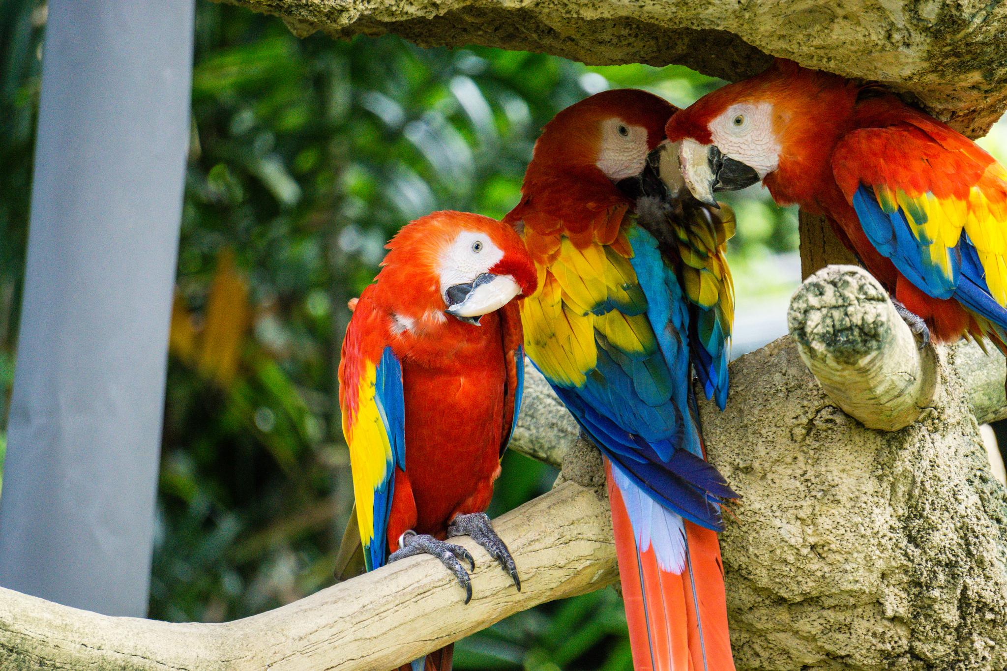 Попугаи Макао, Парк птиц Джуронг, Сингапур