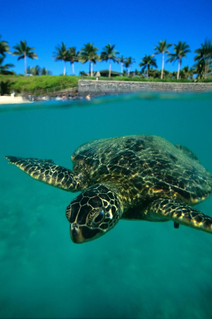 Гигантская черепаха на Гавайях.jpg