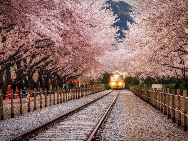 Магия цветущей вишни3.jpg
