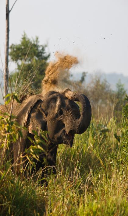 Слон на Шри-Ланке.jpg