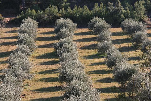 Оливковая роща,Экс-ан-Прованс