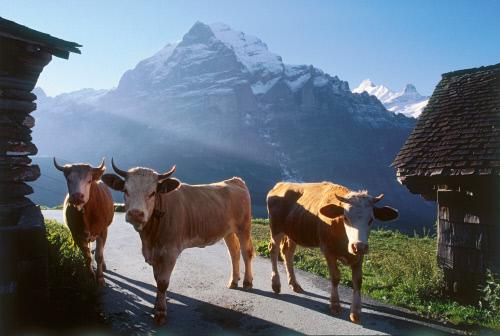 Коровы на фоне Веттерхорн, Гриндельвальд.jpeg