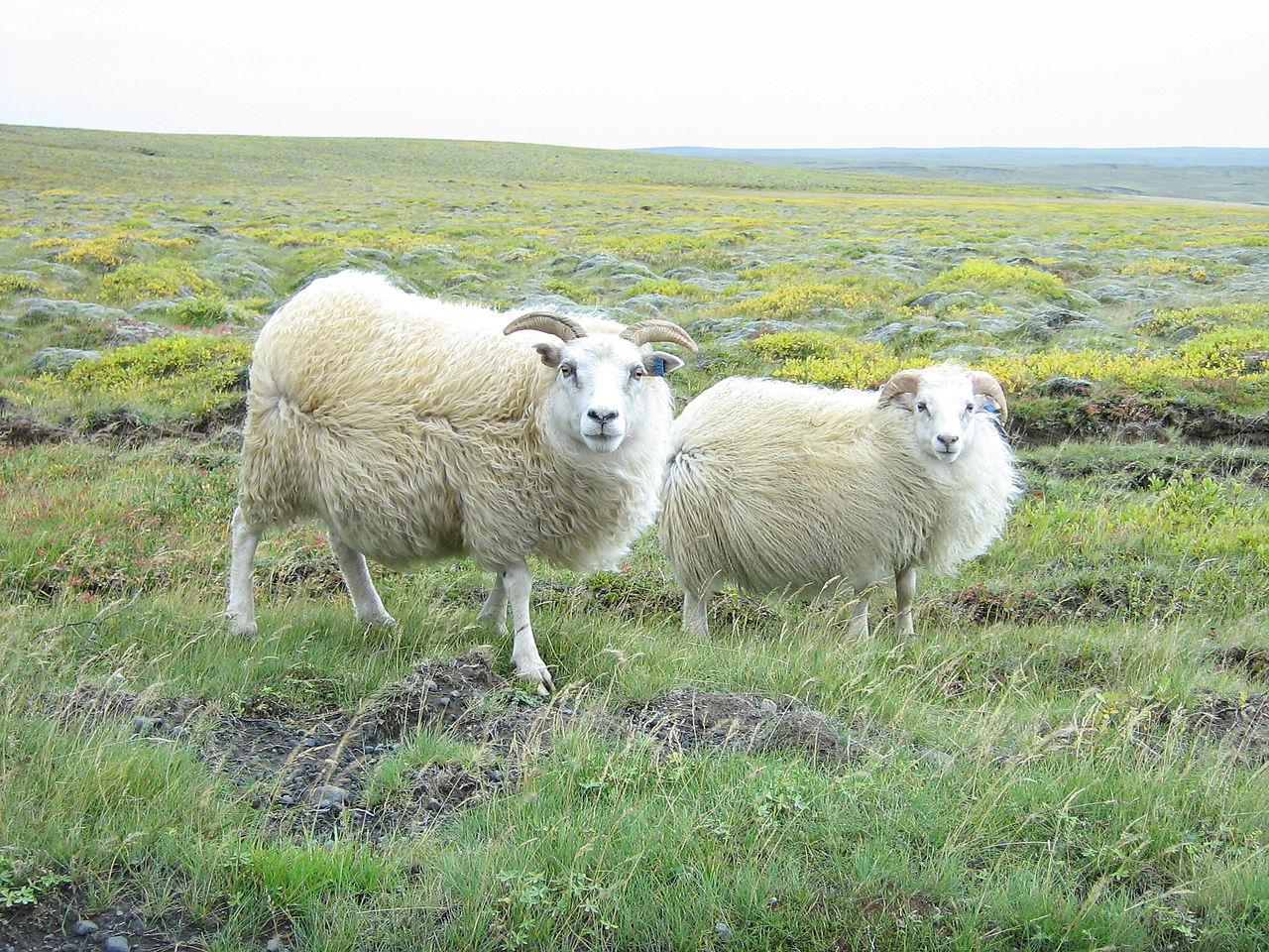 Козы в долине Тингвеллир, Исландия