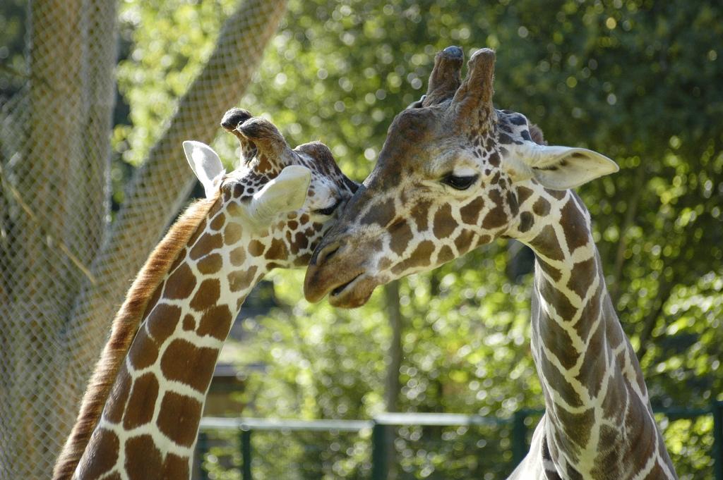 Нюрнбергский зоопарк, жирафы