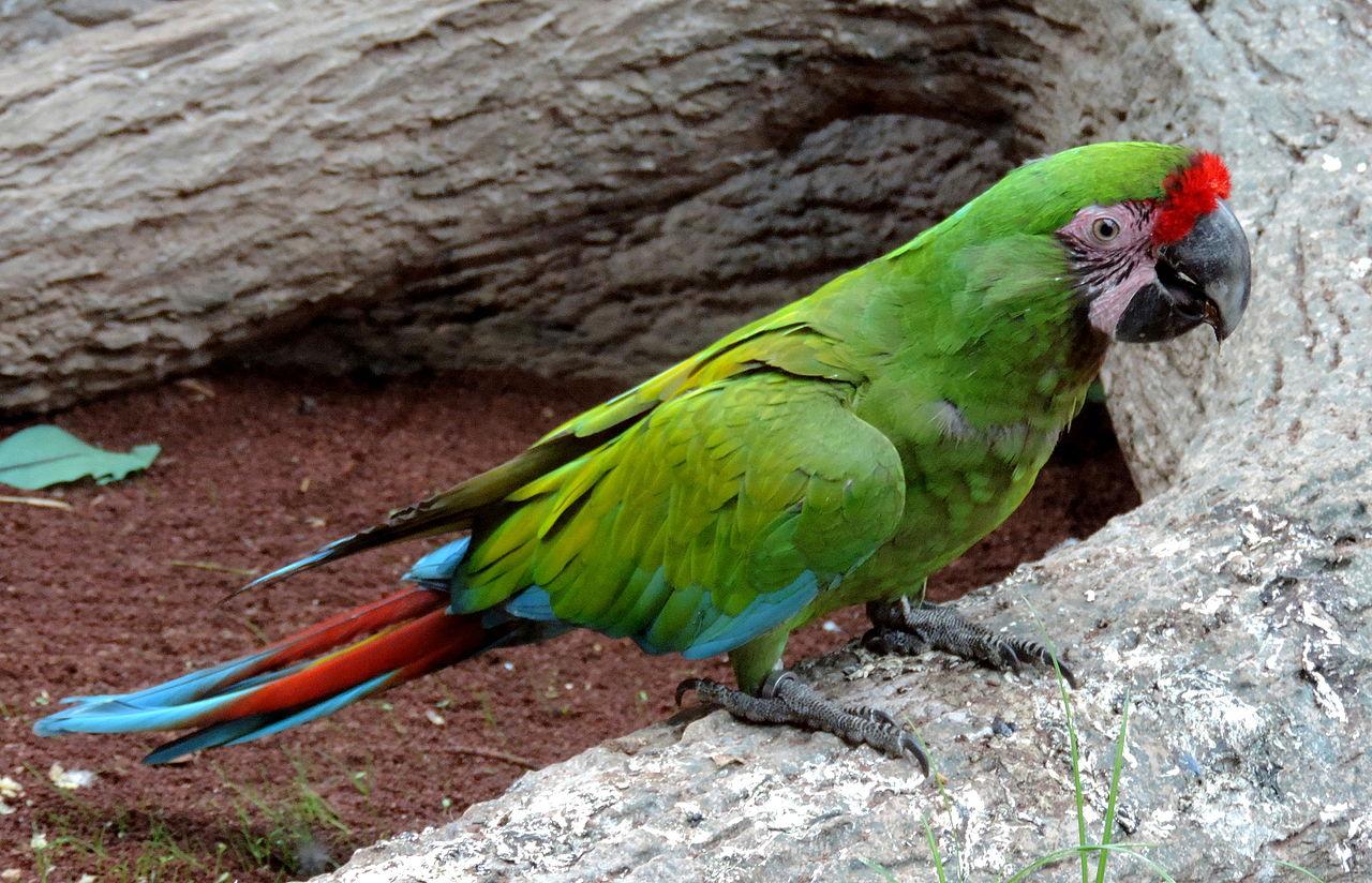 Лоро-парк на Тенерифе, попугай ара