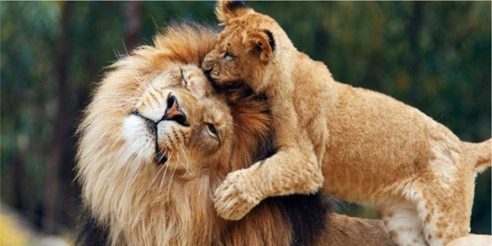 Львы в парке Тайган