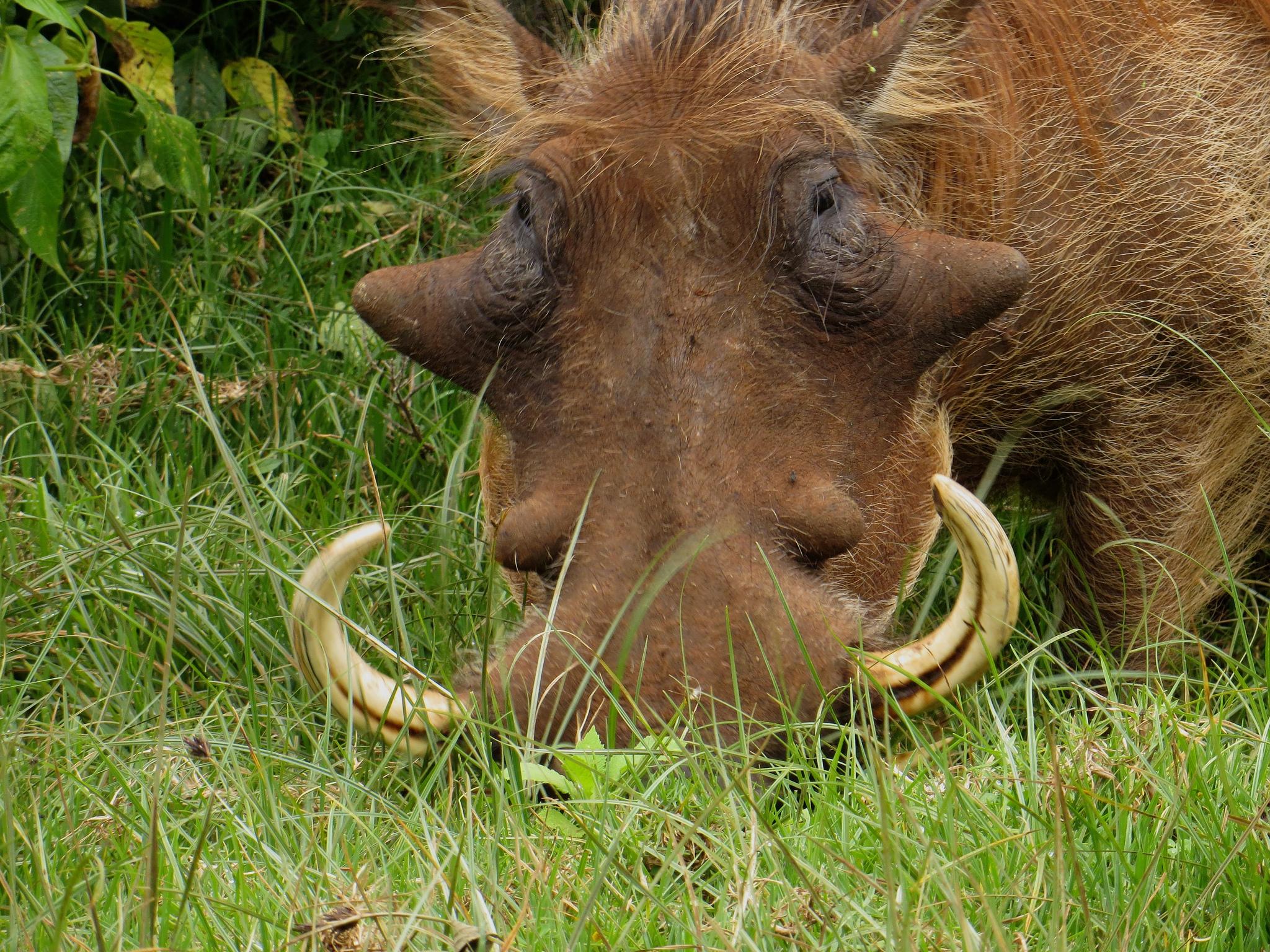 Национальный парк Абердэр, бородавочник