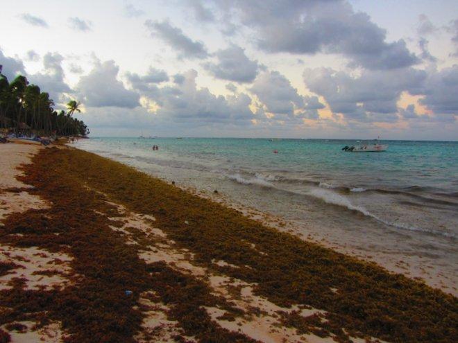 Водоросли не дают туристам отдыхать на пляжах Доминиканы.jpg
