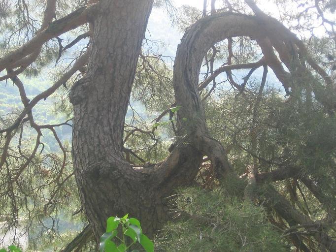 Южные деревья, Абхазия.JPG