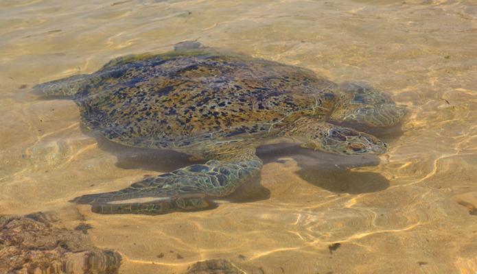 Черепаха на Шри-Ланке.jpg