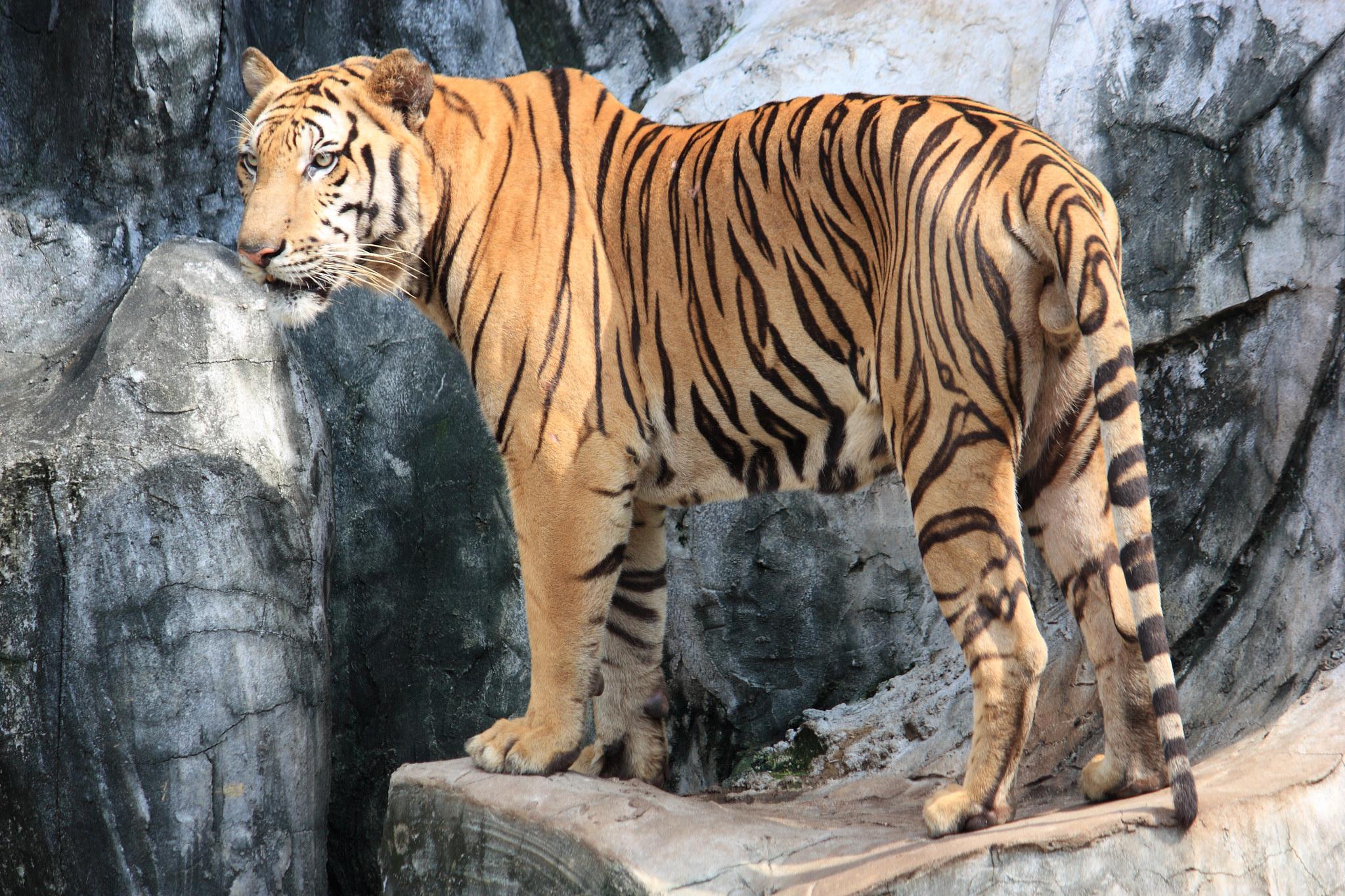 Один из жителей Тигрового зоопарка Сирача