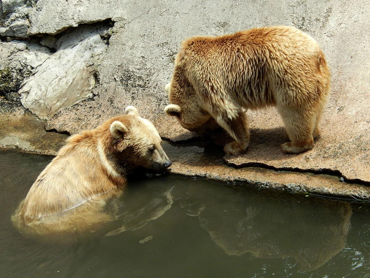 Ереванский зоопарк, медведи