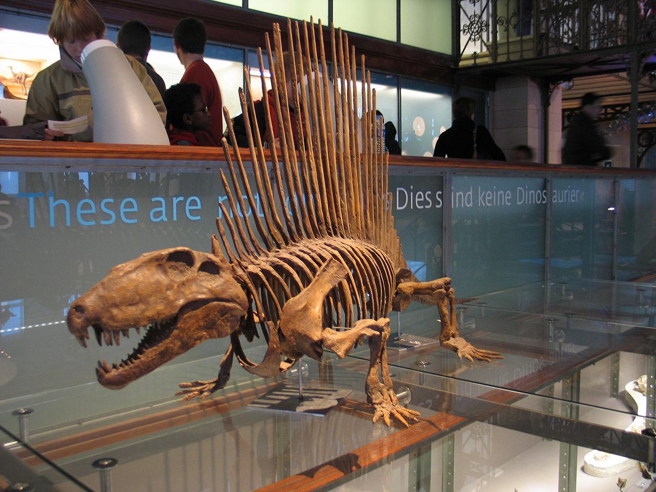 Музей естественных наук в Брюсселе, диметродон
