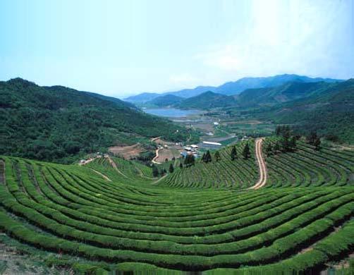 Плантации зелёного чая в Посоне