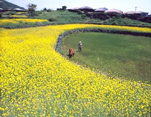 Цветы сурепицы на острове Чечжу