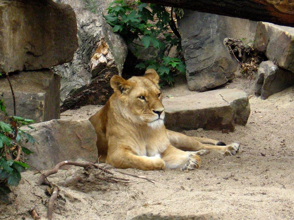 Зоопарк в Амстердаме, львица