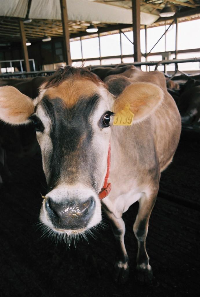 Коровы на ферме в Пенсильвании.jpg