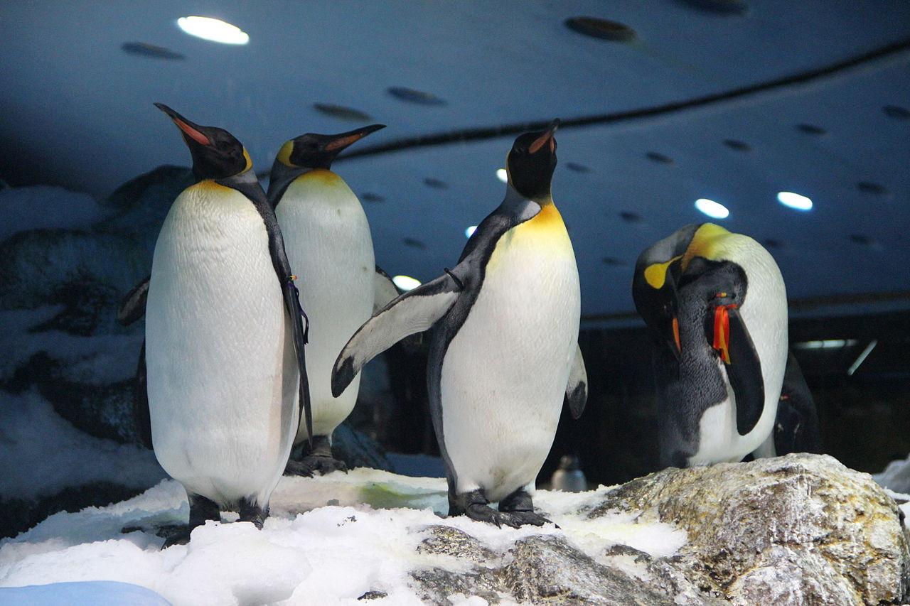 Лоро-парк на Тенерифе, королевские пингвины