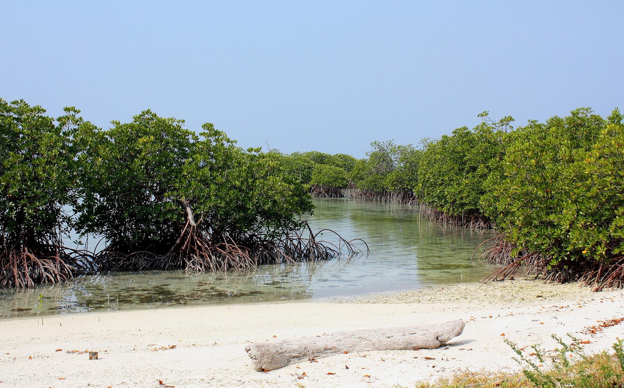 Каримунджава, мангровые заросли