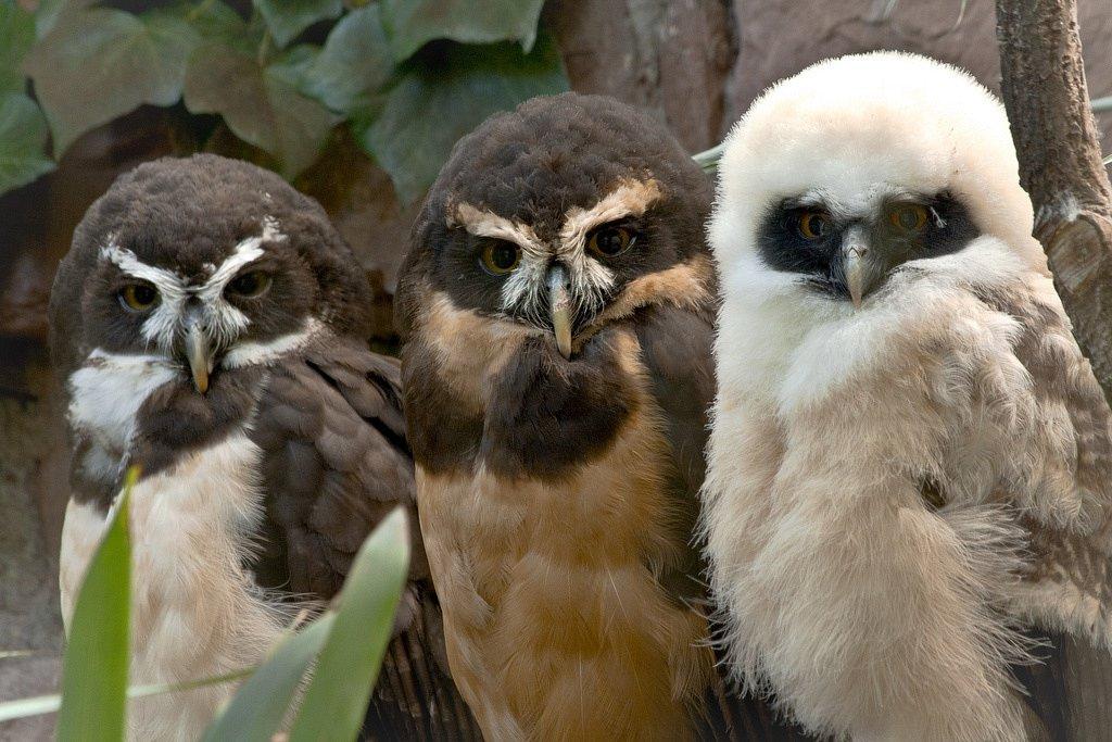 Три совы, Альпийский зоопарк, Инсбрук