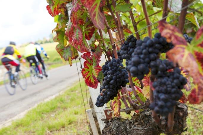 Виноград в Бургундии.jpg