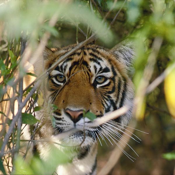 В глазах тигра - сама Индия.jpg