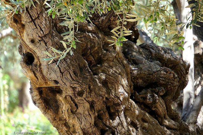 Оливковое дерево, Гефсиманский сад