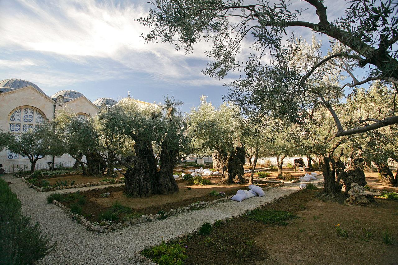 Гефсиманский сад, 8 древних олив
