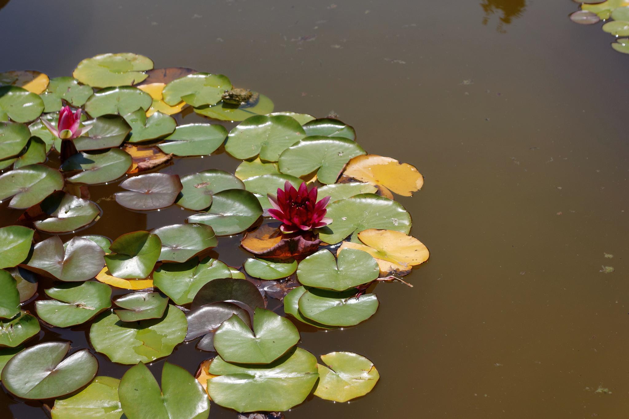 Лилии, Никитский ботанический сад, Ялта