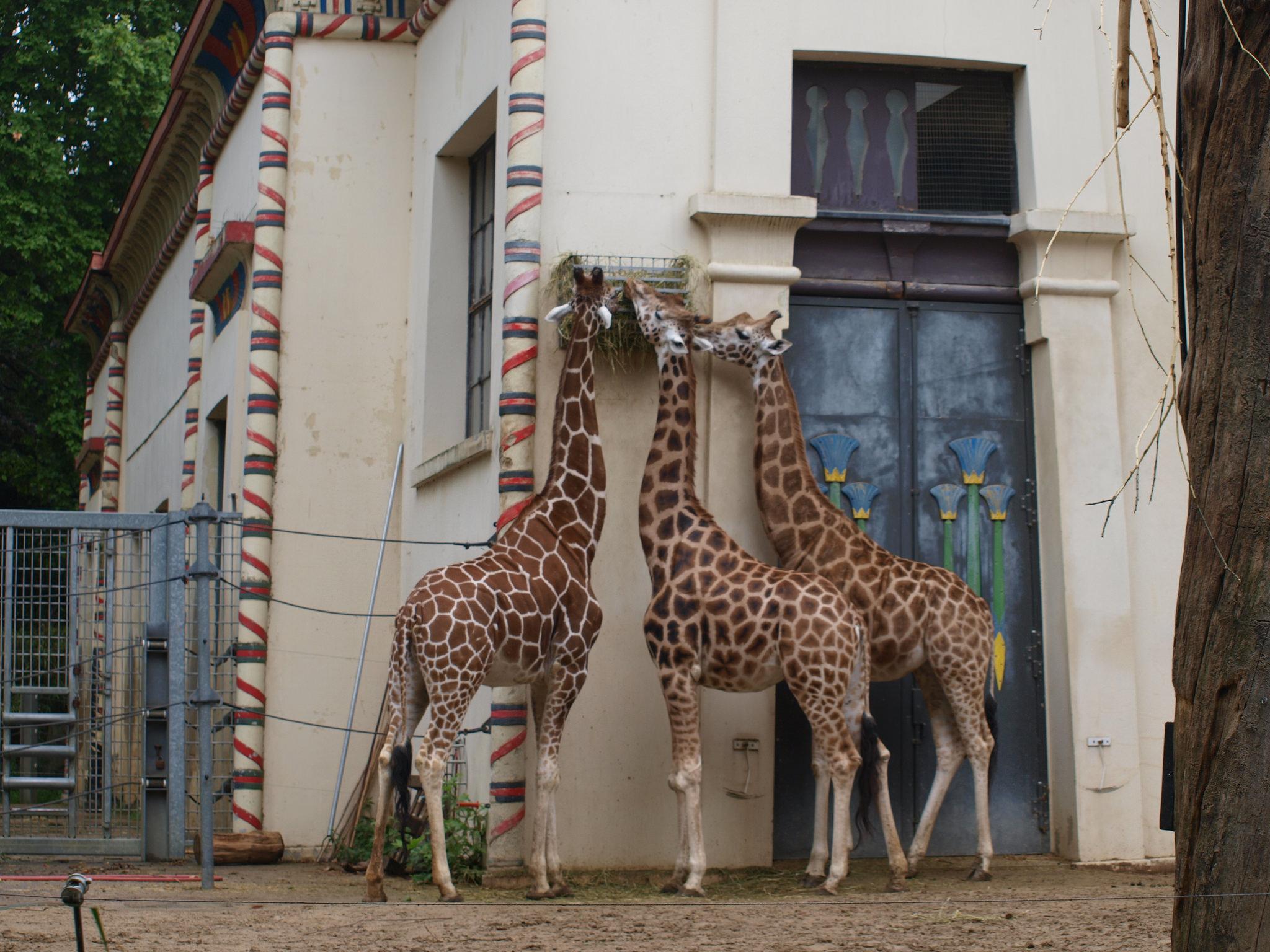 Антверпенский зоопарк, вольер с жирафами