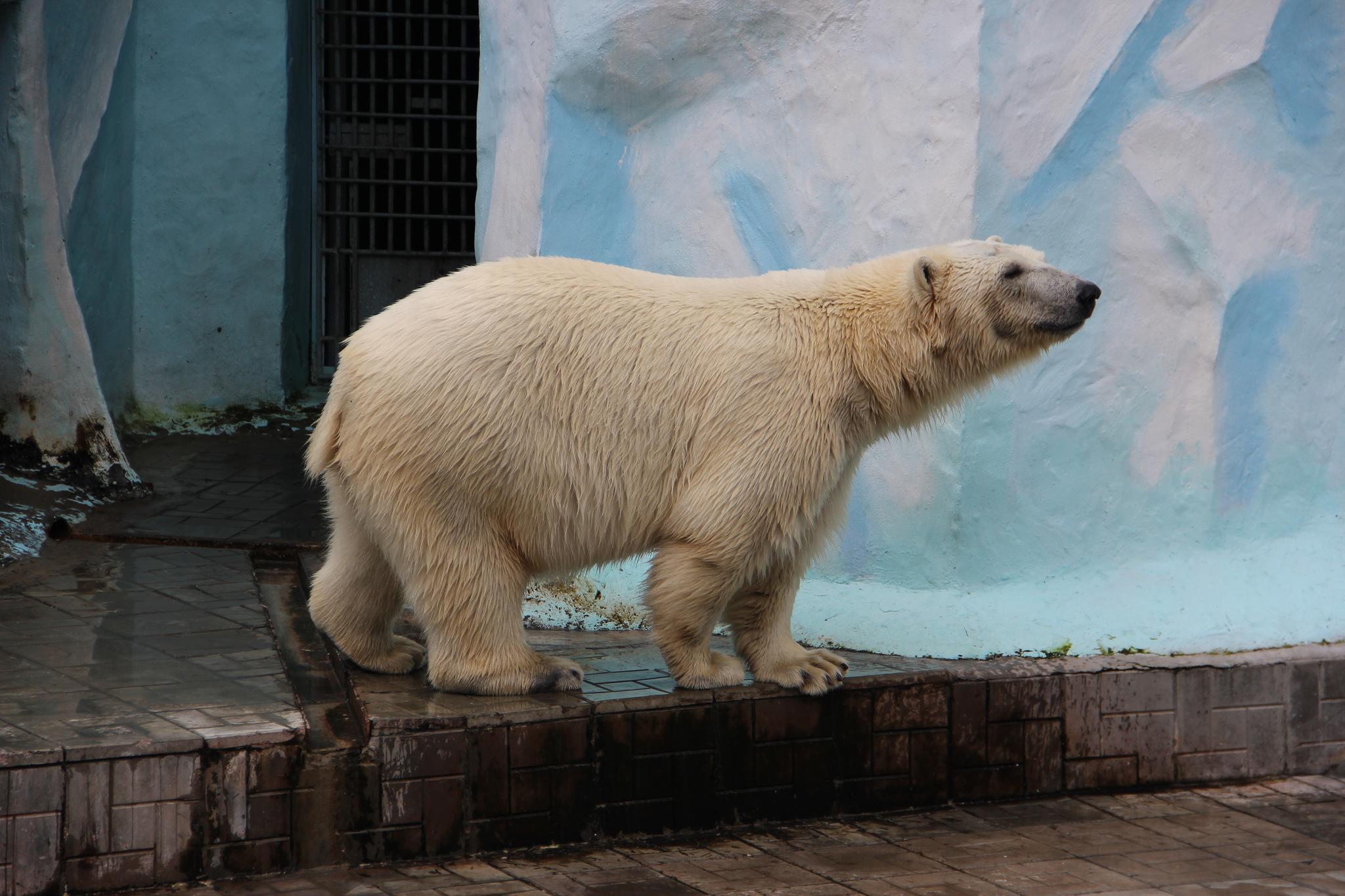 Белый медведь в Новосибирском зоопарке, Новосибирск