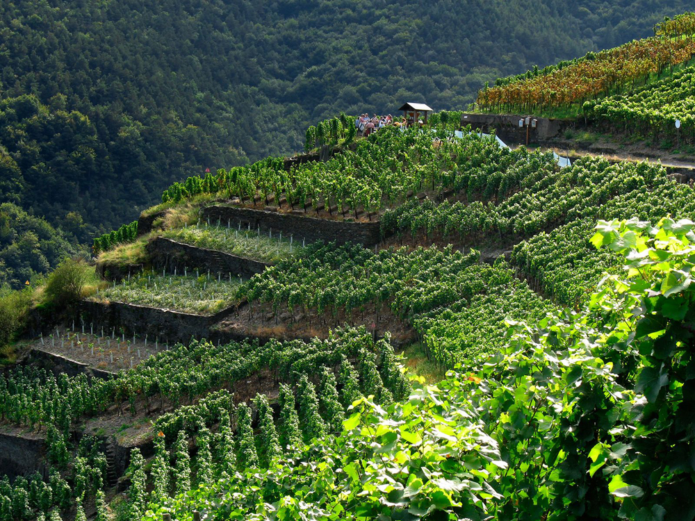 Картинки по запросу азербайджанские виноградники
