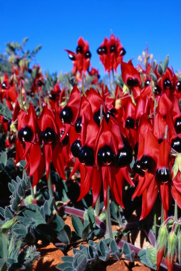 Австралийские цветы