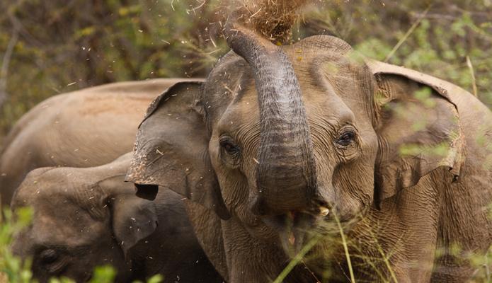 Слоны на Шри-Ланке.jpg