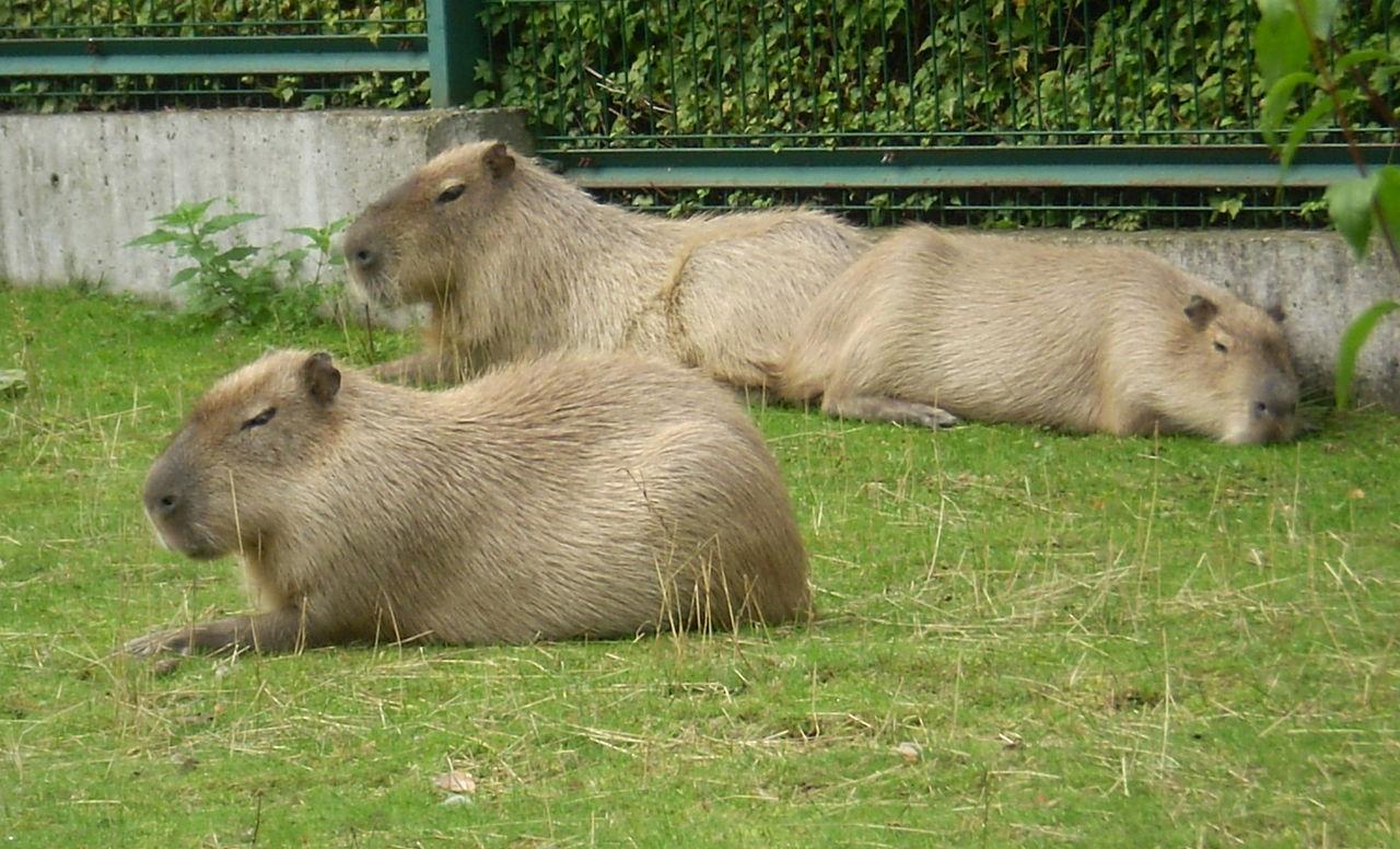 Рижский зоопарк, капибары